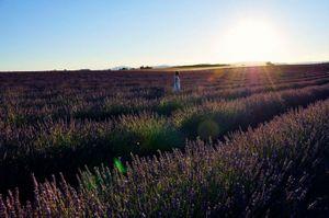 Ngắm cánh đồng oải hương chạy tít đến tận chân trời