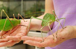 10 loài côn trùng 'khổng lồ' trên thế giới