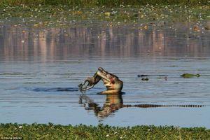 Kinh hãi cảnh cá sấu khổng lồ nuốt gọn chuột túi