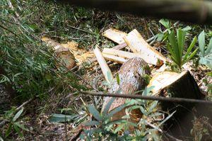 Kết quả điều tra bước đầu vụ phá rừng pơ mu ở Quảng Nam