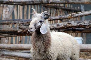 Cận cảnh cừu quái vật 5 sừng gây choáng ở Trung Quốc