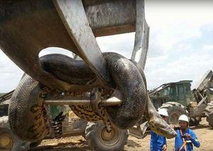 Rùng mình trước cá thể trăn khổng lồ nặng hơn 400kg, dài 10m tìm thấy tại công trường xây dựng