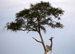 Ảnh động vật tuần: Trăn khổng lồ chết thảm vì tham ăn