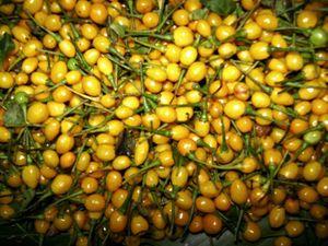 Tận mục cảnh thu hoạch loại ớt tròn đắt nhất thế giới