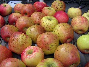 Trên vỏ quả táo hay lê nào cũng có những lỗ nhỏ li ti, bạn biết vì sao không?