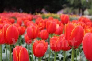Lạc giữa công viên hoa tulip rộng 10ha ở Australia