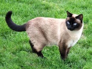 Chùm ảnh đẹp về mèo xiêm