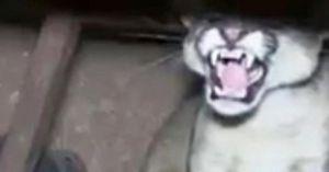 Peru: Giật nảy người thấy báo dữ đợi sẵn trong gầm bàn