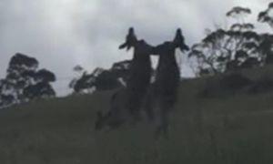 Xem kangaroo thụi nhau bôm bốp như võ sĩ chuyên nghiệp