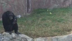 Con tinh tinh nghiện thuốc lá trong vườn quốc gia triều tiên