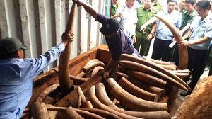 Liên tục nhiều tấn ngà voi, trị giá hàng trăm tỉ đồng nhập lậu qua cảng Cát Lái