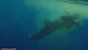 Rùng mình cảnh cá mập hổ xé tan con bò lớn trong chớp mắt