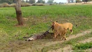 Cá sấu ồ ạt tấn công sư tử ngang nhiên đoạt mồi