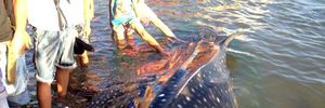 Lóc thịt, nhồi bông cá hiếm làm mẫu vật