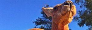 Cận cảnh chú Kangaroo cơ bắp nhất thế giới