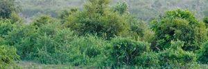 Trâu rừng chết thảm vì cả gan đối đầu sư tử