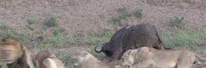 Trâu rừng bất ngờ được sư tử cái 'cứu mạng'