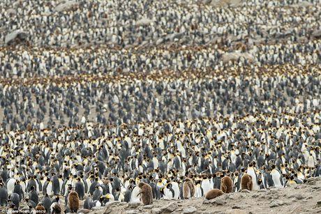 Hình ảnh tuyệt đẹp về hàng ngàn con chim cánh cụt