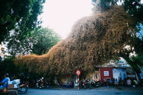 'Bao' mang cay hoa giay bong chuyen mau vang o HN - Anh 2