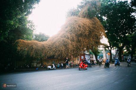 'Bao' mang cay hoa giay bong chuyen mau vang o HN - Anh 4