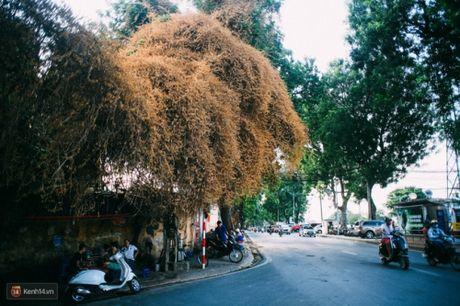 'Bao' mang cay hoa giay bong chuyen mau vang o HN - Anh 5