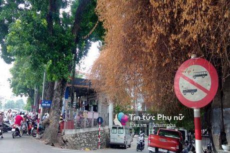 Cay hoa giay vang cua thu Ha Noi va nhung dong tam su buon - Anh 1