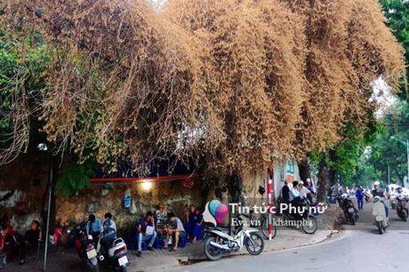 Cay hoa giay vang cua thu Ha Noi va nhung dong tam su buon - Anh 2