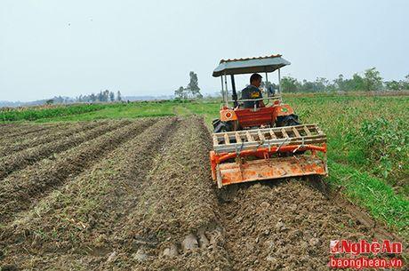 Nam Dan gieo trong tren 1.000 ha ngo vu Dong - Anh 1