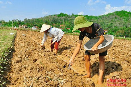 Nam Dan gieo trong tren 1.000 ha ngo vu Dong - Anh 2