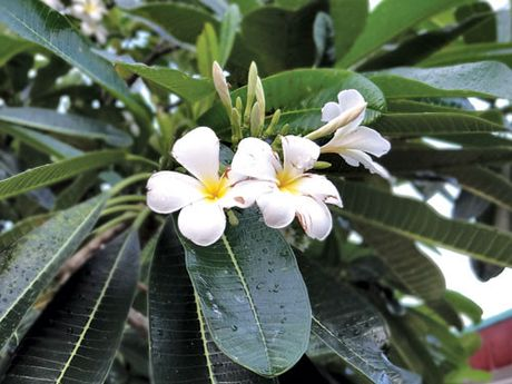 Hoa su tri ho - Anh 1