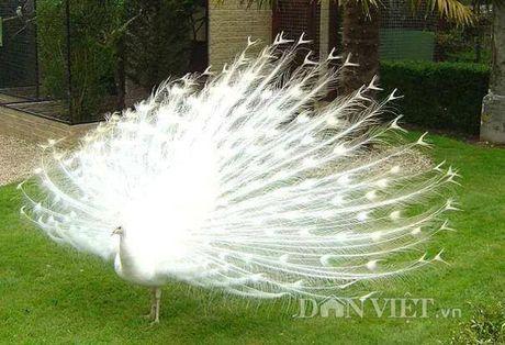 Chim cong long tim: 120 trieu/cap o Hai Duong - Anh 3