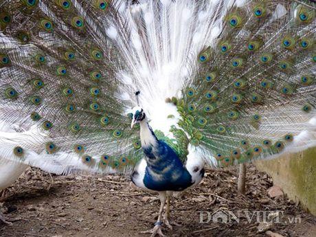 Chim cong long tim: 120 trieu/cap o Hai Duong - Anh 4