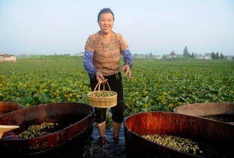 Tan mat xem nong dan Trung Quoc thu hoach cu au - Anh 6