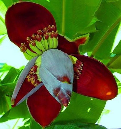 Hoa chuoi chua benh - Anh 1
