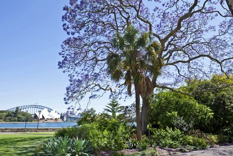 Australia dem nguoc cho don sac tim ruc ro cua mua hoa jacaranda - Anh 4