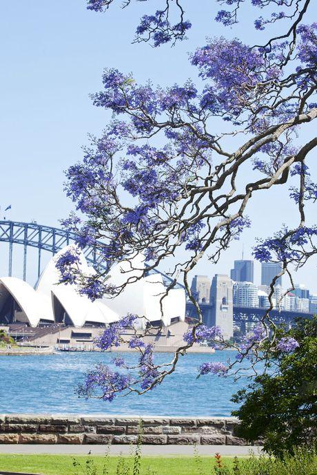 Australia dem nguoc cho don sac tim ruc ro cua mua hoa jacaranda - Anh 5