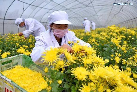 Xem thu hoạch hoa cúc làm thảo dược